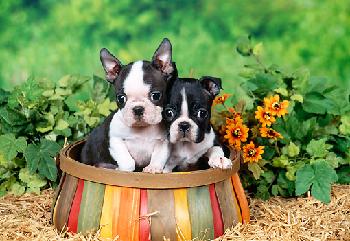 PUP 14 FA0039 01 © Kimball Stock Boston Terrier Puppies Sitting In Wooden Basket In Garden