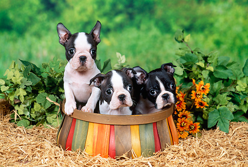 PUP 14 FA0040 01 © Kimball Stock Boston Terrier Puppies Sitting In Wooden Basket In Garden