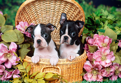 PUP 14 FA0041 01 © Kimball Stock Boston Terrier Puppies Sitting In Wicker Basket In Garden