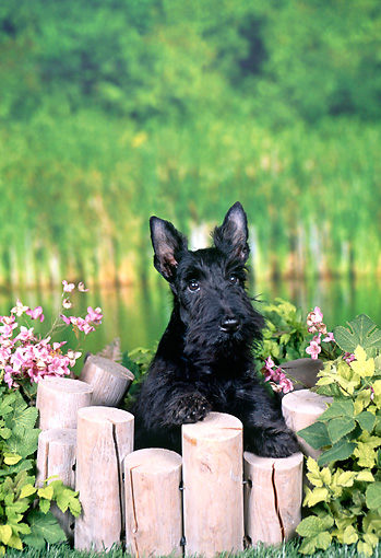 PUP 14 FA0045 01 © Kimball Stock Scottish Terrier Puppy Leaning On Wooden Gate By Pond