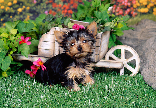 PUP 14 FA0046 01 © Kimball Stock Yorkshire Terrier Puppy Sitting On Grass By Mini Wheelbarrow And Flowers