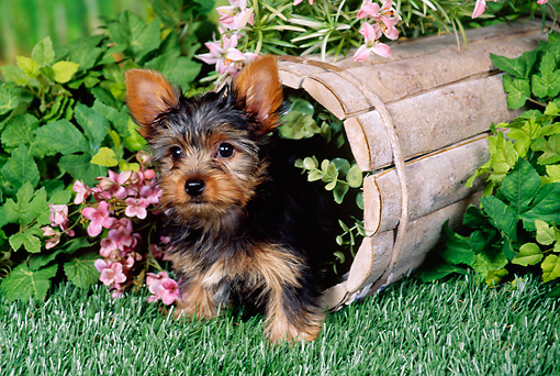 PUP 14 FA0048 01 © Kimball Stock Yorkshire Terrier Puppy Standing Inside Planter Box With Pink Flowers