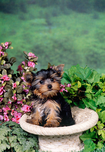 PUP 14 FA0049 01 © Kimball Stock Yorkshire Terrier Puppy Sitting Inside Bird Bath By Pink Flowers