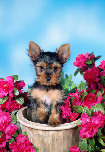 PUP 14 FA0051 01 © Kimball Stock Yorkshire Terrier Puppy Sitting Inside Flower Pot By Pink Flowers