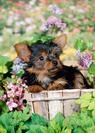 PUP 14 FA0052 01 © Kimball Stock Yorkshire Terrier Puppy Sitting Inside Planter Box By Pink Flowers