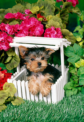 PUP 14 FA0053 01 © Kimball Stock Yorkshire Terrier Puppy Leaning On Mini White Picket Fence By Pink Flowers