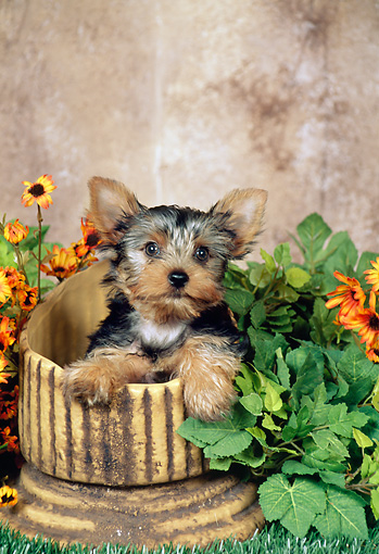 PUP 14 FA0054 01 © Kimball Stock Yorkshire Terrier Puppy Sitting In Flower Pot By Yellow Flowers