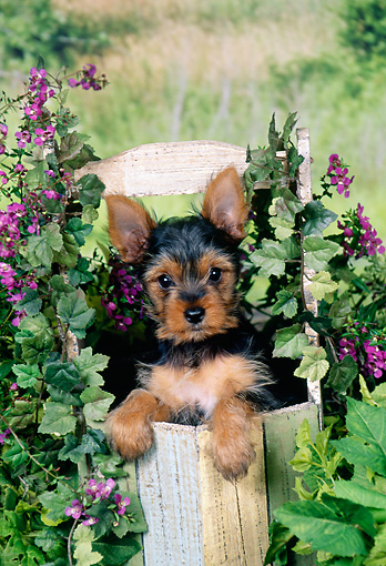 PUP 14 FA0055 01 © Kimball Stock Yorkshire Terrier Puppy Sitting In Planter Box By Purple Flowers