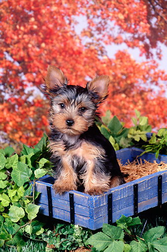 PUP 14 FA0056 01 © Kimball Stock Yorkshire Terrier Puppy Sitting In Blue Wooden Box By Shrubs