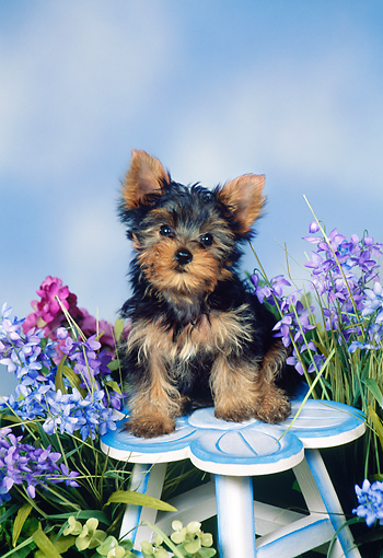 PUP 14 FA0057 01 © Kimball Stock Yorkshire Terrier Puppy Sitting On Flower Stool By Purple Flowers