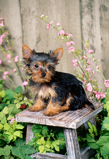 PUP 14 FA0059 01 © Kimball Stock Yorkshire Terrier Puppy Sitting On Wooden Stool In Garden