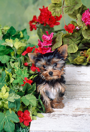 PUP 14 FA0060 01 © Kimball Stock Yorkshire Terrier Puppy Sitting On Wooden Deck In Garden