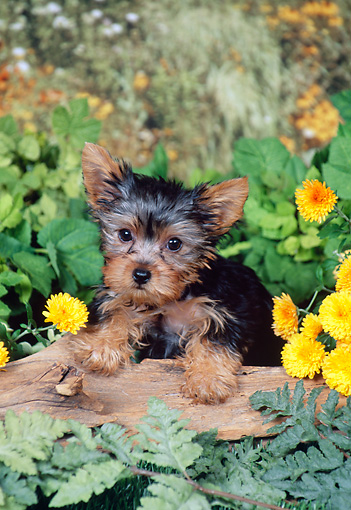 PUP 14 FA0061 01 © Kimball Stock Yorkshire Terrier Puppy Leaning On Log By Yellow Flowers