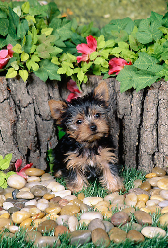PUP 14 FA0062 01 © Kimball Stock Yorkshire Terrier Puppy Sitting On Grass By Pebbles And Pink Flowers