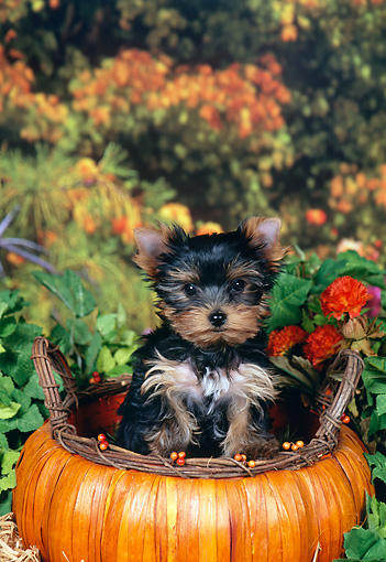 PUP 14 FA0065 01 © Kimball Stock Yorkshire Terrier Puppy Sitting In Pumpkin Basket By Orange Flowers