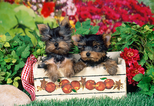 PUP 14 FA0066 01 © Kimball Stock Yorkshire Terrier Puppies Sitting In Apple Crate By Red Flowers