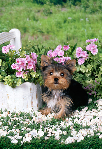 PUP 14 FA0067 01 © Kimball Stock Yorkshire Terrier Puppy Laying In Grass By White Pebbles And Pink Flowers