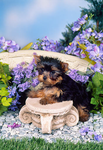 PUP 14 FA0068 01 © Kimball Stock Yorkshire Terrier Puppy Leaning On Stool In Garden