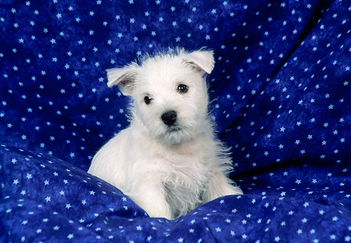 PUP 14 FA0069 01 © Kimball Stock West Highland Terrier Puppy Sitting On Blue Blanket With Stars