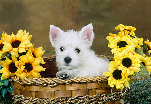 PUP 14 FA0070 01 © Kimball Stock West Highland Terrier Puppy Sitting In Basket With Sunflowers