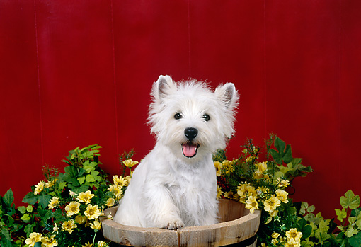 PUP 14 FA0071 01 © Kimball Stock West Highland Terrier Puppy Sitting In Wooden Bucket By Flowers And Red Wall