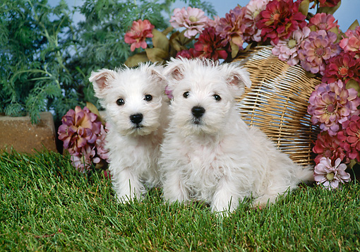 PUP 14 FA0072 01 © Kimball Stock West Highland Terrier Puppies Sitting On Grass By Pink Flowers