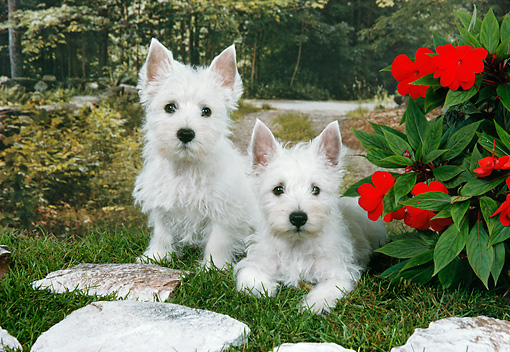 PUP 14 FA0073 01 © Kimball Stock West Highland Terrier Puppies On Grass By Red Flowers