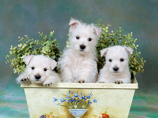PUP 14 FA0074 01 © Kimball Stock West Highland Terrier Puppies Sitting In Planter Box In Studio