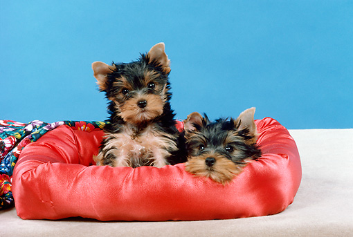 PUP 14 FA0075 01 © Kimball Stock Yorkshire Terrier Puppies Resting In Dog Bed