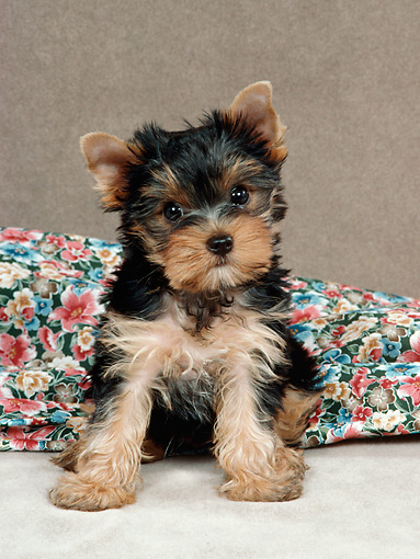PUP 14 FA0076 01 © Kimball Stock Yorkshire Terrier Puppy Sitting By Blanket In Studio