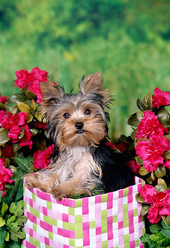 PUP 14 FA0077 01 © Kimball Stock Yorkshire Terrier Puppy Sitting In Basket In Garden
