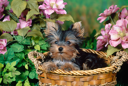PUP 14 FA0078 01 © Kimball Stock Yorkshire Terrier Puppy Laying In Basket In Garden