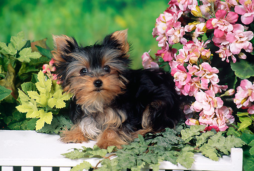 PUP 14 FA0079 01 © Kimball Stock Yorkshire Terrier Puppy Laying On White Bench In Garden