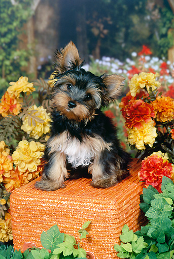 PUP 14 FA0080 01 © Kimball Stock Yorkshire Terrier Puppy Sitting On Orange Stool In Garden