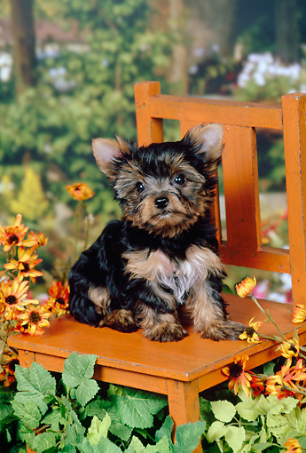 PUP 14 FA0081 01 © Kimball Stock Yorkshire Terrier Puppy Sitting On Wooden Chair In Garden