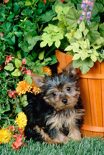 PUP 14 FA0082 01 © Kimball Stock Yorkshire Terrier Puppy Sitting On Grass In Garden