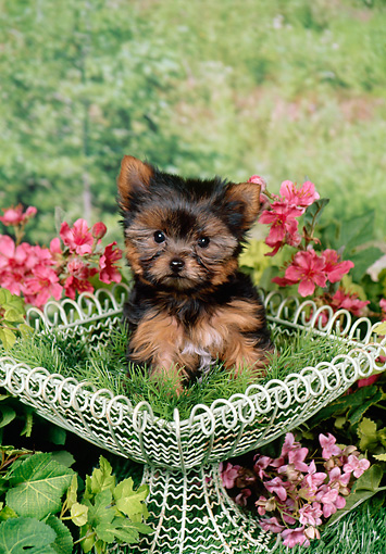 PUP 14 FA0084 01 © Kimball Stock Yorkshire Terrier Puppy Sitting In Wire Basket In Garden