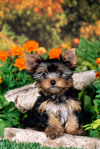 PUP 14 FA0085 01 © Kimball Stock Yorkshire Terrier Puppy Sitting In Garden