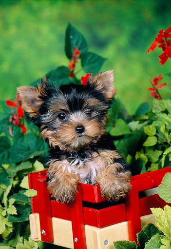PUP 14 FA0086 01 © Kimball Stock Yorkshire Terrier Puppy Sitting In Crate In Garden
