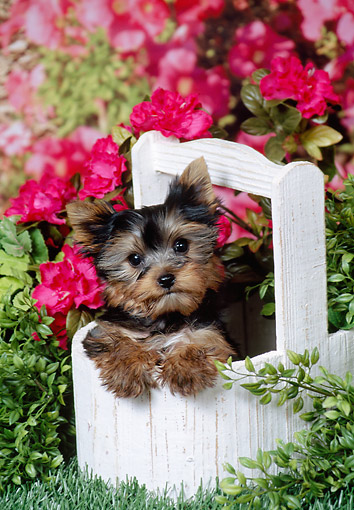 PUP 14 FA0088 01 © Kimball Stock Two Yorkshire Terrier Puppies Sitting In Planter Box In Garden