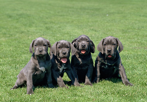 PUP 14 GL0002 01 © Kimball Stock Four American Staffordshire Terrier Puppies Sitting On Grass