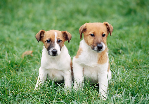 PUP 14 GL0003 01 © Kimball Stock Fox Terrier Puppies Sitting In Grass