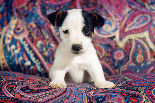 PUP 14 GR0002 01 © Kimball Stock Jack Russell Terrier Laying On Cushion Facing Camera