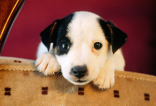 PUP 14 GR0004 01 © Kimball Stock Head Shot Of Jack Russell Terrier Puppy Laying On Armchair