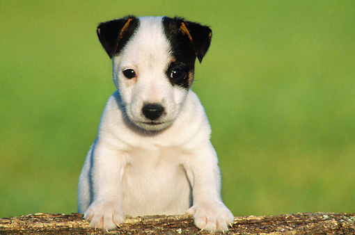 PUP 14 GR0005 01 © Kimball Stock Jack Russell Terrier Puppy Leaning On Log