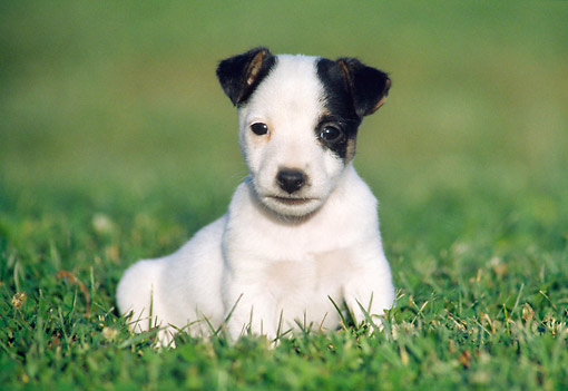 PUP 14 GR0006 01 © Kimball Stock Jack Russell Terrier Puppy Laying On Lawn