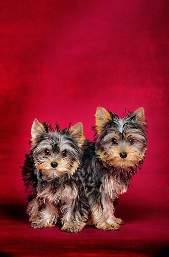 PUP 14 JE0001 01 © Kimball Stock Yorkshire Terrier Puppy Standing Over Another Yorkshire Terrier Puppy