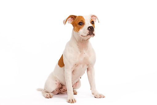 PUP 14 JE0004 01 © Kimball Stock American Staffordshire Terrier Puppy Sitting On White Seamless
