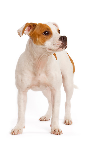 PUP 14 JE0005 01 © Kimball Stock American Staffordshire Terrier Puppy Standing On White Seamless