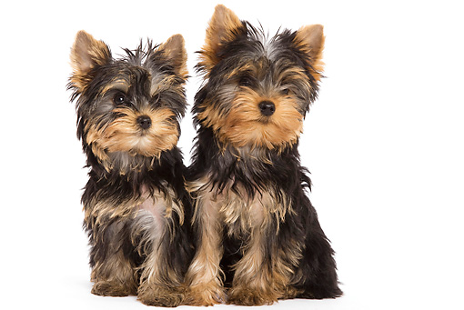 PUP 14 JE0006 01 © Kimball Stock Yorkshire Terrier Puppies Sitting On White Seamless